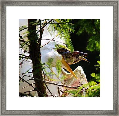 Baby Great White Egret With Lunch Framed Print by Paulette Thomas