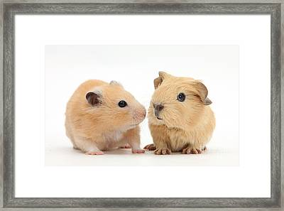 Baby Guinea Pig And Golden Hamster Framed Print by Mark Taylor