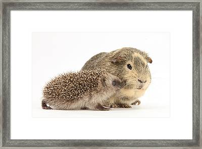 Baby Hedgehog And Guinea Pig Framed Print by Mark Taylor