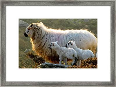 Baby-lambs Framed Print by Barbara Walsh