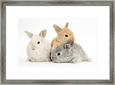 Baby Lop Rabbits Framed Print by Mark Taylor