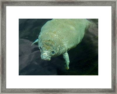 Baby Manatee Framed Print by Carla Parris