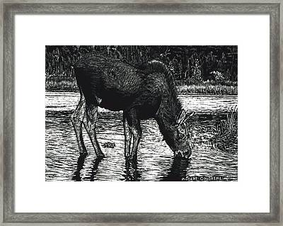Baby Moose Grazing Framed Print by Robert Goudreau