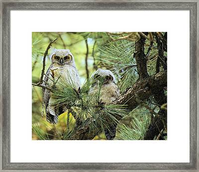 Baby Owls Framed Print by John  Greaves