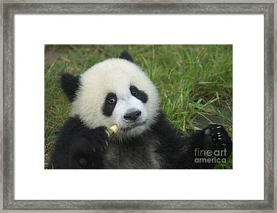 Framed Print featuring the photograph Baby Panda by Craig Lovell