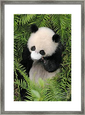Framed Print featuring the photograph Baby Panda In Ferns by Craig Lovell