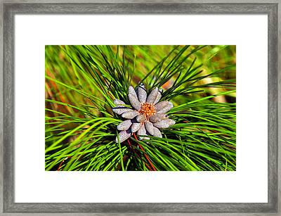 Baby Pine Cones Framed Print by David Lee Thompson