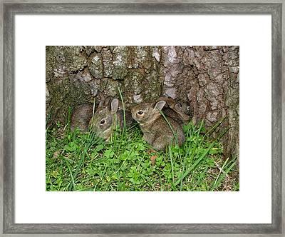 Baby Rabbits Framed Print