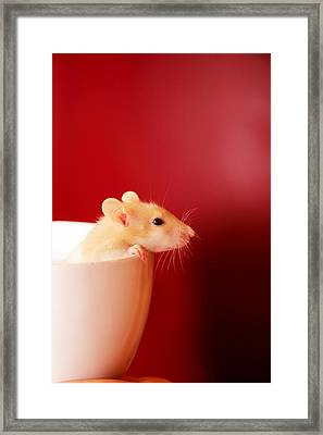 Baby Rat In Teacup Framed Print by D. Sharon Pruitt Pink Sherbet Photography