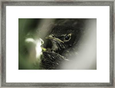 Framed Print featuring the photograph Baby Robin by Tom Gort