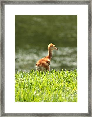 Baby Sandhill In The Sunshine Framed Print by Carol Groenen