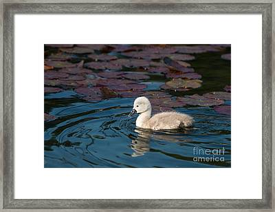 Baby Swan Framed Print by Andrew  Michael
