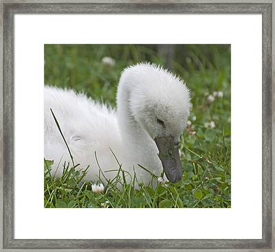 Baby Swan Resting Framed Print by Ruth H Curtis