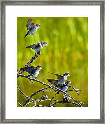Baby Tree Swallows Feeding #1 Framed Print by John Stoj