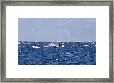 Baby Whale Breach Framed Print by Chris Ann Wiggins