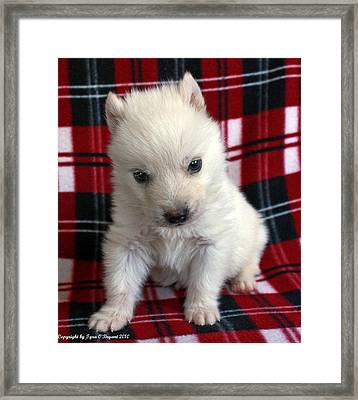 Framed Print featuring the photograph Baby Wolfdog by Tyra  OBryant