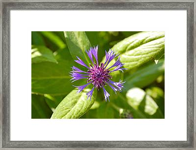 Framed Print featuring the photograph Bachelor's Button by Mary McAvoy
