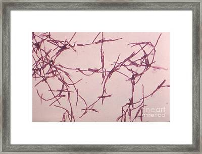 Bacillus Anthracis, Lm Framed Print by Science Source