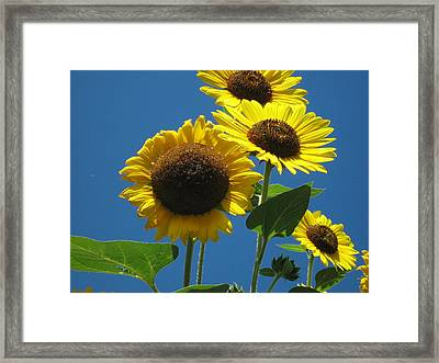 Back Bay Sunflowers Framed Print by Bruce Carpenter