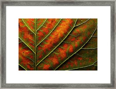 Backlit, Close Up Of A Smoke Tree Leaf Framed Print