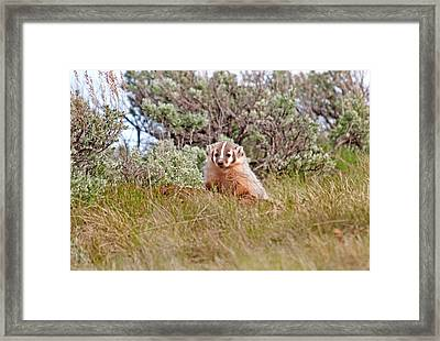 Badger Framed Print by Elijah Weber
