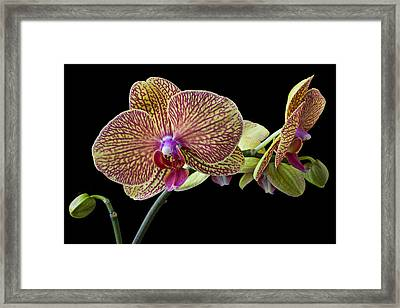Baeutiful Orchids Framed Print by Garry Gay