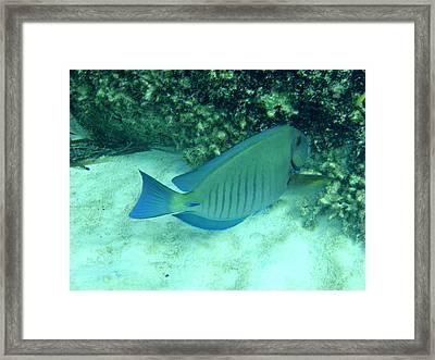 Bahamas Blue Tang Framed Print by Kimberly Perry