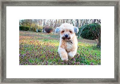 Bailey Framed Print by Barry Jones