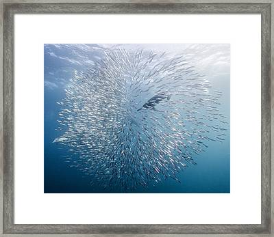 Bait-ball Framed Print