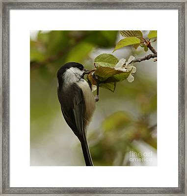 Balancing Act- Black Capped Chickadee On Flower Blossom Framed Print by Inspired Nature Photography Fine Art Photography