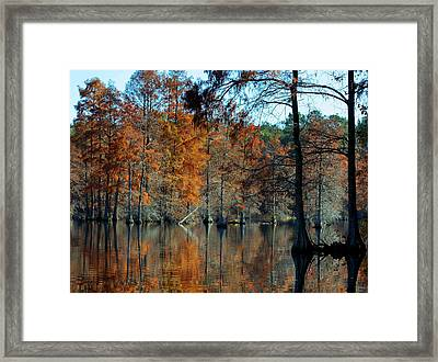 Bald Cypress In Autumn Framed Print