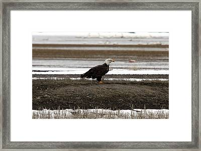 Bald Eagle - 0120 Framed Print