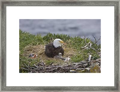 Bald Eagle Adult And Chick On Nest Framed Print