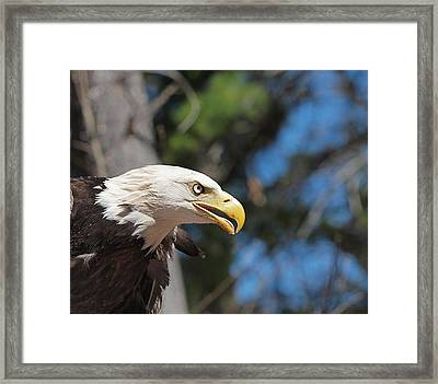 Bald Eagle At Mclane Center Framed Print by Peter Gray