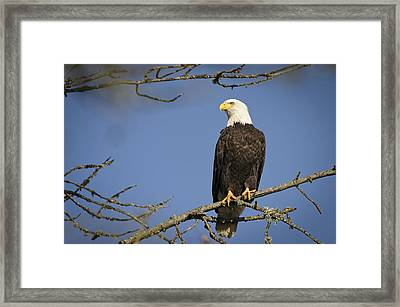Bald Eagle Framed Print by Bruce McCammon