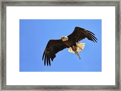 Bald Eagle Catch Framed Print