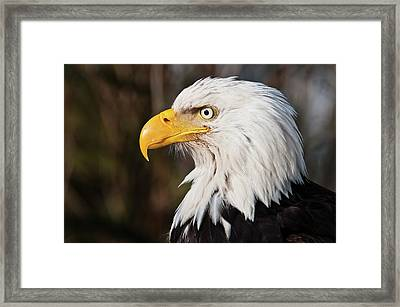Bald Eagle Framed Print by Chad Graham
