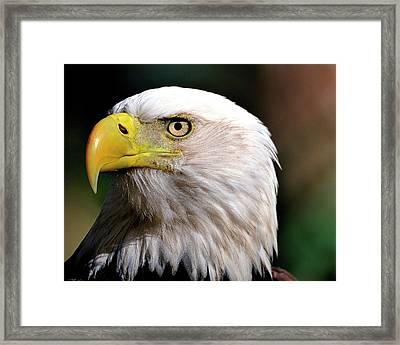 Bald Eagle Close Up Framed Print