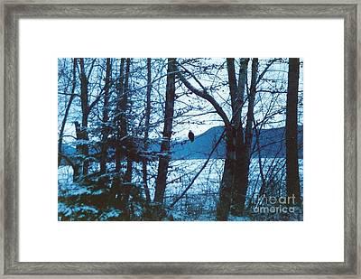 Bald Eagle Haines Alaska Framed Print by Judyann Matthews