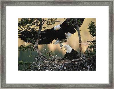 Bald Eagle Haliaeetus Leucocephalus Framed Print