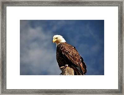 Bald Eagle Homer Alaska Framed Print by Debra  Miller