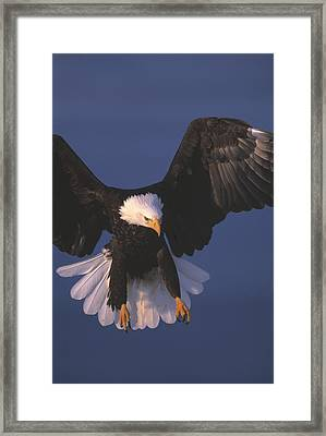 Bald Eagle Hovering In The Air Framed Print