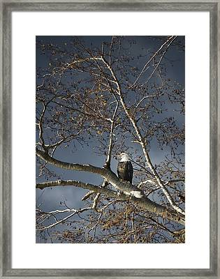Bald Eagle In A Tree Framed Print by Con Tanasiuk