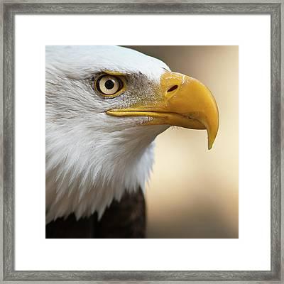 Bald Eagle Framed Print by Jonatan Hernandez Photography