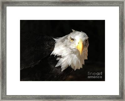 Bald Eagle Framed Print by Marc Bittan