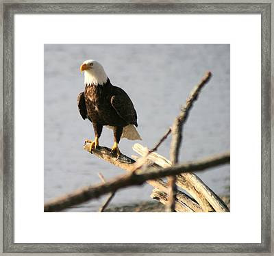 Bald Eagle On Driftwood Framed Print by Kym Backland