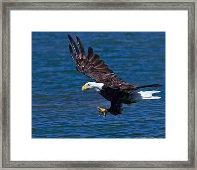 Bald Eagle On The Hunt Framed Print by Beth Sargent