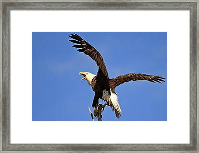 Bald Eagle Screaming Framed Print