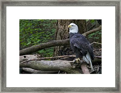 Bald Eagle Framed Print by Sean Griffin