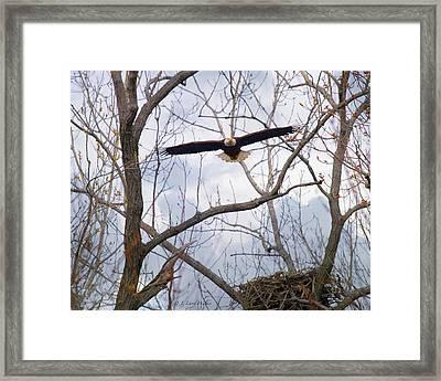 Bald Eagle Soaring Toward Me Framed Print by J Larry Walker